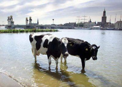 Koeien in de IJssel